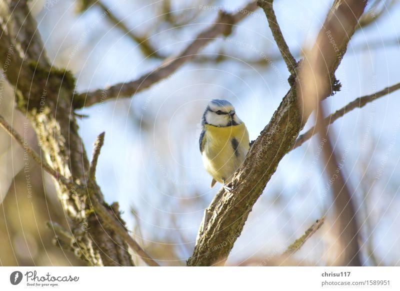 Blaumeise auf Hollunder Natur Frühling Garten Tier Wildtier Vogel 1 beobachten sitzen frech schön natürlich Neugier Farbfoto Außenaufnahme Nahaufnahme Abend