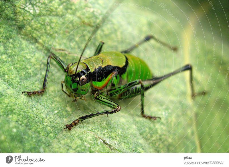 Flip Umwelt Natur Tier Pflanze Blatt Grünpflanze Wildpflanze Wildtier Tiergesicht Heuschrecke 1 springen natürlich grün Grünes Heupferd Fühler Insekt Korfu