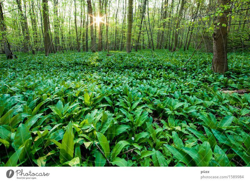 Bärlauch Kräuter & Gewürze Ernährung Umwelt Natur Landschaft Pflanze Sonne Sonnenlicht Frühling Schönes Wetter Baum Blatt Grünpflanze Wildpflanze Wald Duft grün