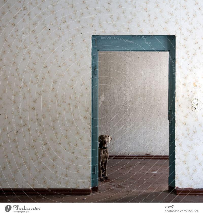hinterTür Raum Örtlichkeit Sitzgelegenheit Platz Hund Weimaraner warten Muster Tapete alt vergessen Bodenbelag Parkett Fell Detailaufnahme