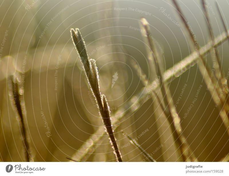 Winter Gras Eis Frost Raureif Licht glänzend kalt Wärme Kontrast Natur Umwelt Pflanze Farbe