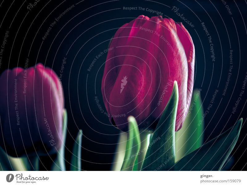 BLÜMCHEN für CES Natur grün Pflanze Blume schwarz dunkel Frühling Blüte Beleuchtung ästhetisch violett Duft Tulpe Blütenblatt Lichtschein Dunkelfärbung