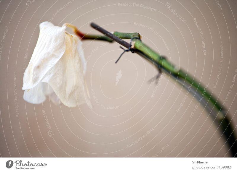 68 [am absterbenden ast] schön Dekoration & Verzierung Blume Orchidee Blüte ästhetisch weiß Tod Vergänglichkeit Stengel Zierpflanze Zimmerpflanze Stillleben
