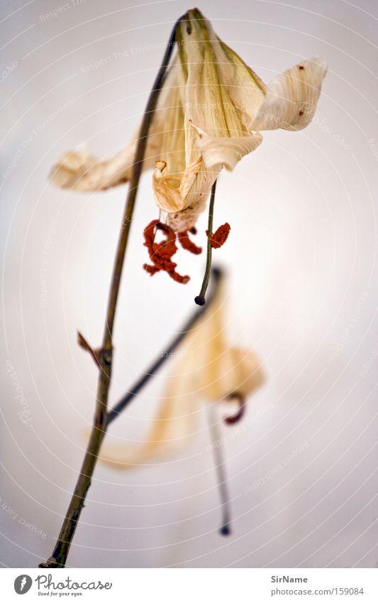 69 [verblüht] Zufriedenheit Blume Blüte Blühend gelb Tod Vergänglichkeit Zierpflanze Composing beige Pollen Bewältigung welk Nahaufnahme Makroaufnahme