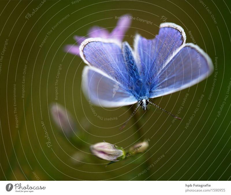Hauhechelbläuling Natur blau schön grün Tier Wald Umwelt Wiese natürlich Glück Garten fliegen Park Feld Wildtier ästhetisch
