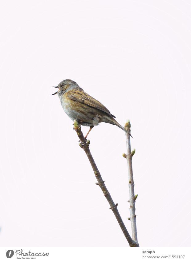 …tweet Spatz Haussperling Vogel Singvögel Natur Tier Gezwitscher Pfeifen singen twitter Ast Zweig Baum Fink Feder Flügel Schnabel Tierporträt klein Wildtier