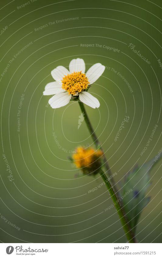 fein und klein Natur Pflanze Frühling Sommer Blüte Wildpflanze Feld Blühend Duft dünn gelb grün weiß Heilpflanzen zart Farbfoto Außenaufnahme Makroaufnahme