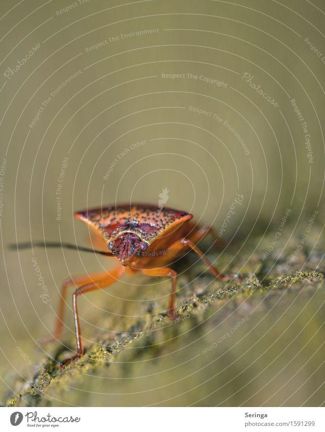 Auf der Mauer , auf der Lauer...... Pflanze Tier Baum Sträucher Moos Garten Park Wiese Wald Wildtier Käfer 1 Stein krabbeln Wanze Insekt Makroaufnahme Farbfoto