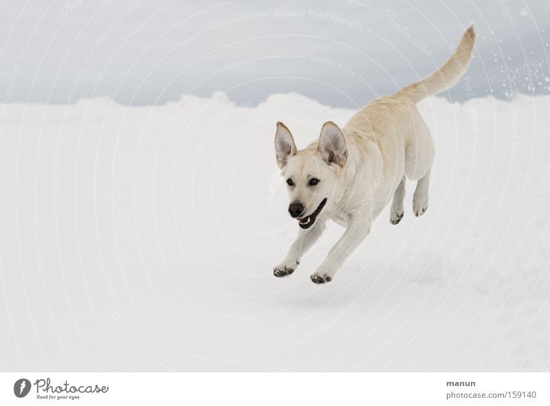 mein glücklicher Hund :-)) Freude Glück Winter Schnee Natur Haustier 1 Tier Bewegung rennen springen frech Fröhlichkeit hell lustig natürlich schön Lebensfreude