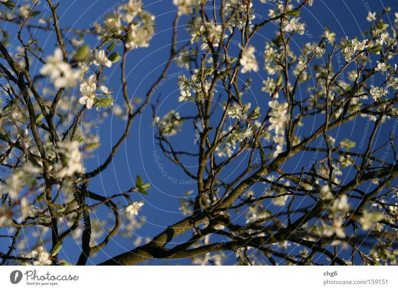 Kirschblütenast vor blauem Himmel weiß Baum Frühling Frucht Ast Kirsche