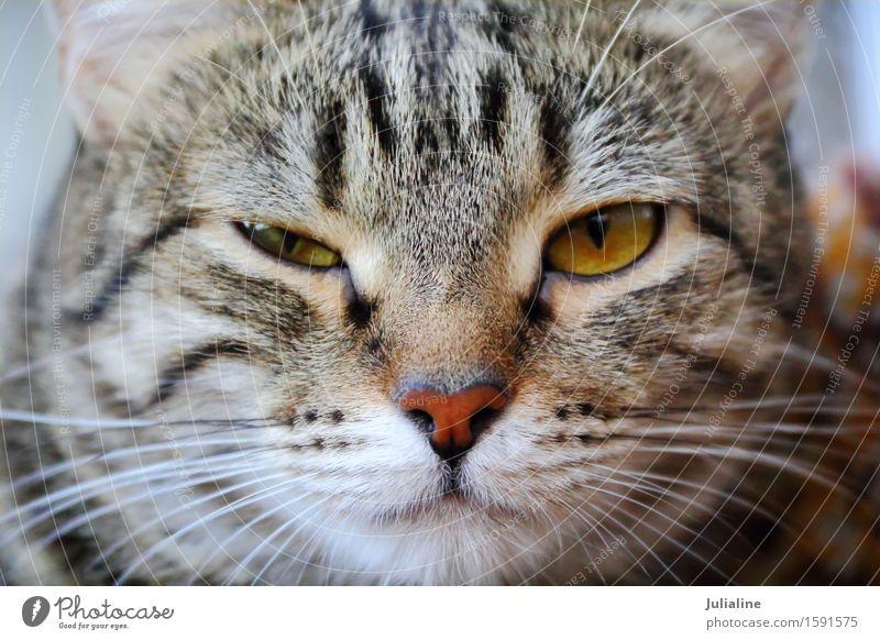 Katzenporträt mit gelben Augen Gesicht Tier Oberlippenbart Haustier 1 Streifen nah Silberblick Säugetier Backenbart Koteletten schließen Farbfoto