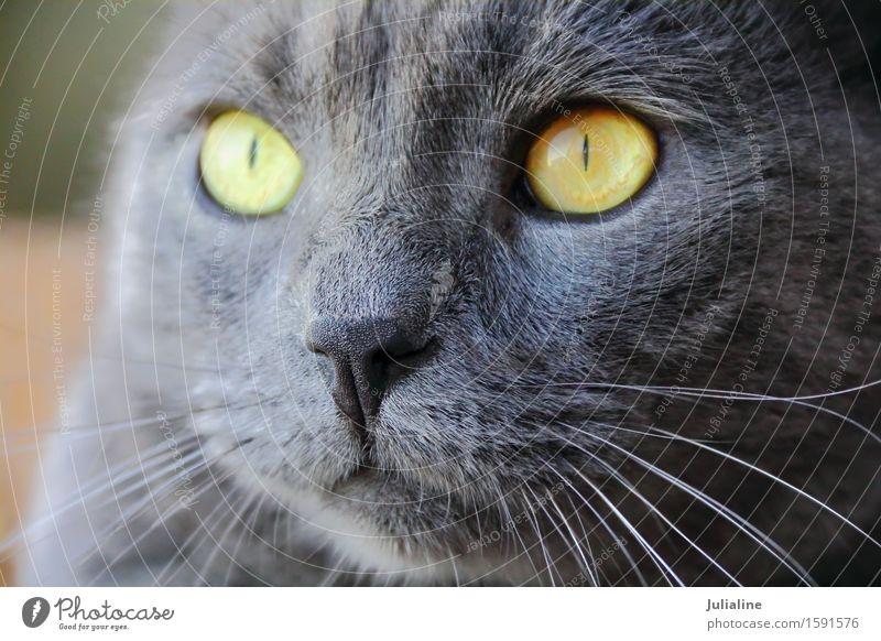 Katzenporträt mit gelben Augen Gesicht Tier Oberlippenbart Haustier nah blau grau Säugetier Backenbart Koteletten schließen Farbfoto