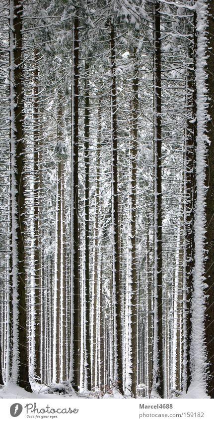 Hänsel und Gretel verirrten sich im Wald lang Holz Baum Winter weiß tief hoch Tanne Schneesturm groß Wind Windgeschwindigkeit Angst