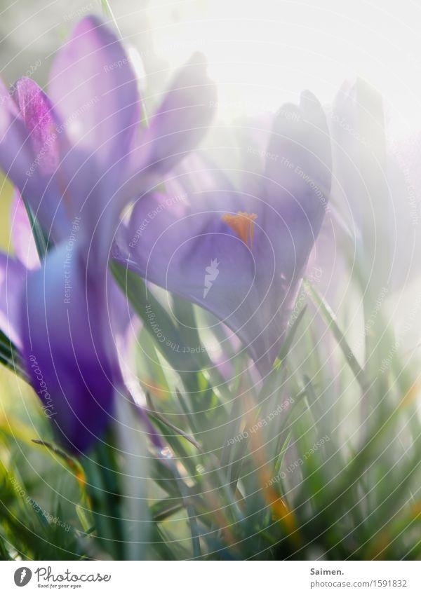krokusscrowd Natur Pflanze Frühling Blume Blüte Wiese natürlich violett Umwelt Vergänglichkeit Wachstum Krokusse Nebel Farbfoto Außenaufnahme Nahaufnahme