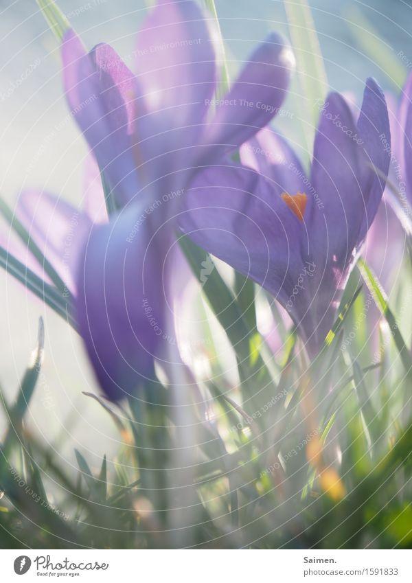 krokusscrowd Natur Pflanze schön Farbe Blume Leben Frühling Wiese natürlich Nebel Wachstum Blühend Krokusse gedeihen