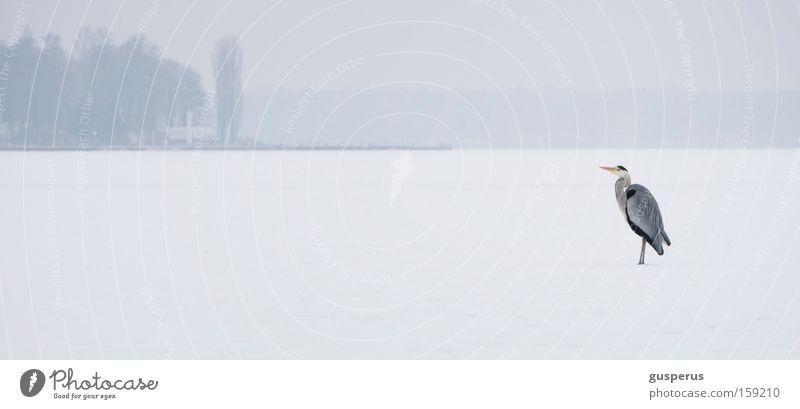weite weisse wüste weiß Vogel Reiher gefroren kalt Schnellzug Coolness Eis Schnee white snow bird heron frozen cold