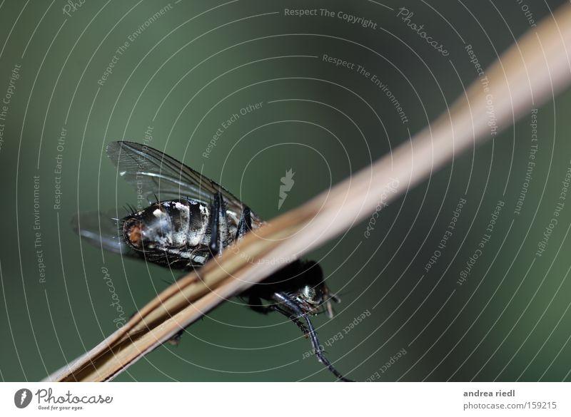 """Die """"Puck"""" kurz vorm Start Natur Insekt Fliege Flügel Makroaufnahme grün schillernd Facettenauge Sommer Summen Halm Nahaufnahme Fly"""