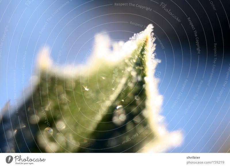 Spitz Nahaufnahme Makroaufnahme Licht Winter Blatt frieren glänzend kalt Raureif Frost Zacken Am Rand Ecke Gemeiner Stechdorn Gift Ilex aquifolium chribier