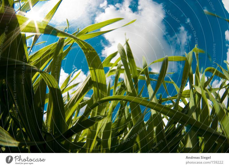 Frühling!!!! Fischauge Sonne Himmel Wolken Wiese Gras blau weiß Froschperspektive Halm Sommer Käfersicht