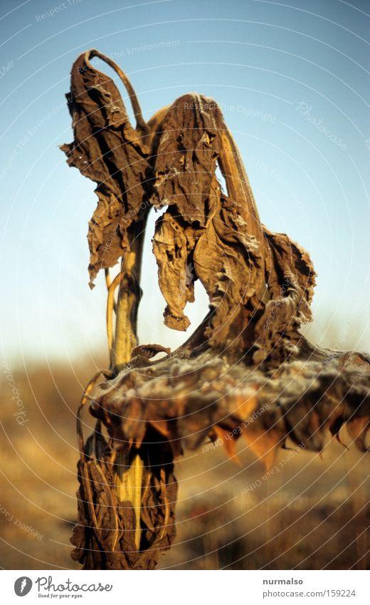 Moment der Stille Natur Blume ruhig Farbe Herbst gold authentisch Verfall Korn Sonnenblume hängen verblüht verrotten