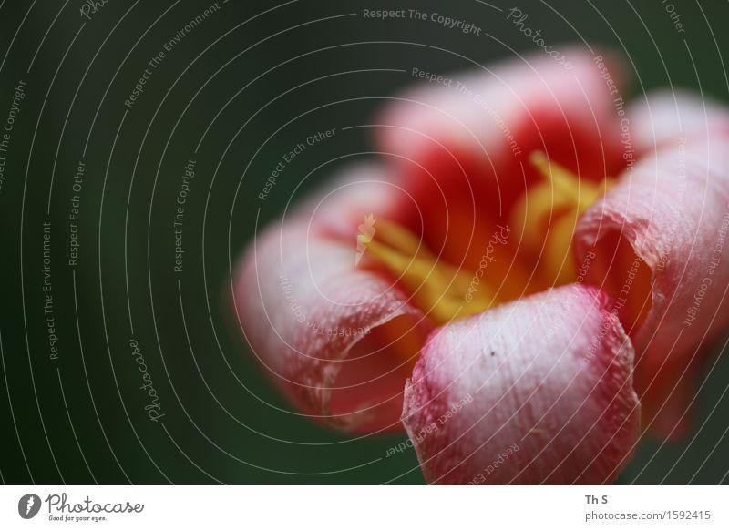 Frühling Natur Pflanze grün Sommer weiß rot ruhig gelb Blüte natürlich elegant frisch authentisch ästhetisch Blühend