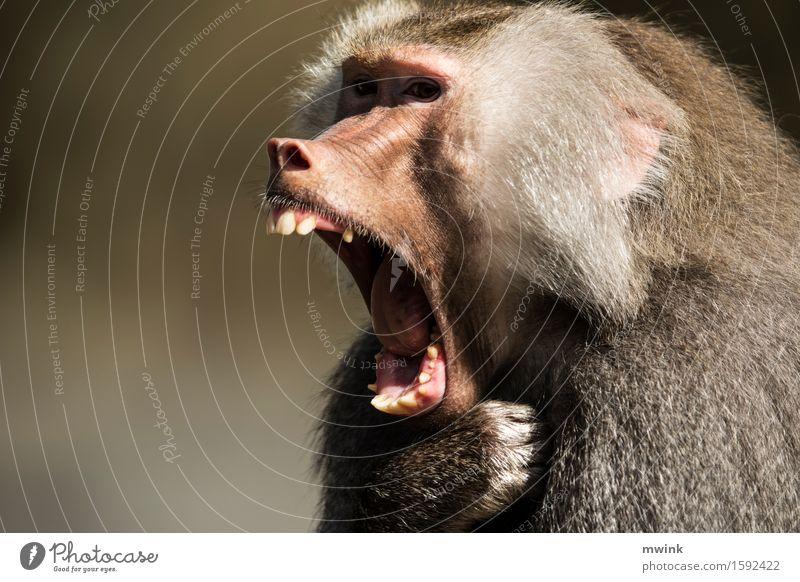 Schreiend Natur Tier sprechen natürlich außergewöhnlich wild frei Wildtier Kommunizieren Abenteuer Neugier Konflikt & Streit schreien Tiergesicht Zoo frech