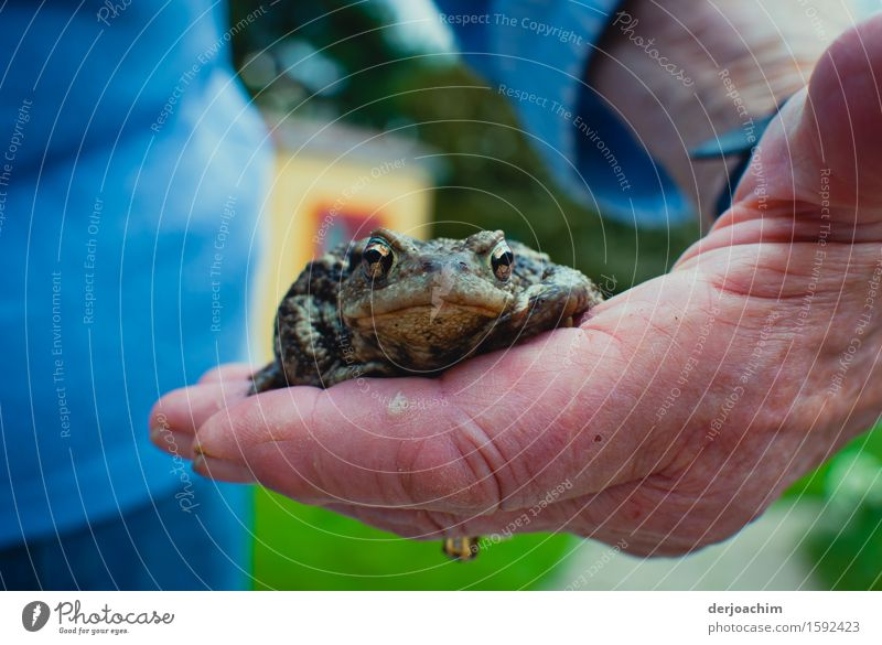 Alte Hände, junge Kröte. Eine Hand hält vorsichtig eine Kröte in der Hand. Die Augen der Kröte blicken nach vorne. Freude harmonisch Garten Natur Frühling