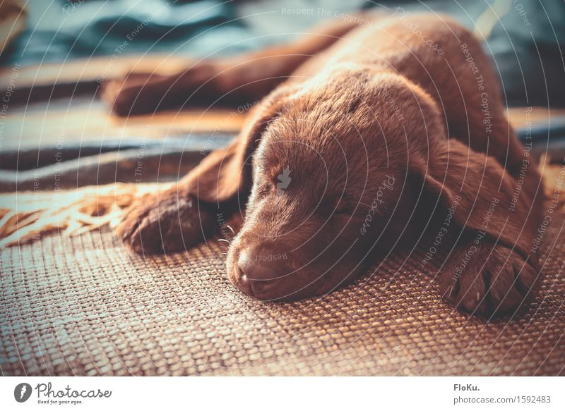 Sleepy Puppy Tier Haustier Hund 1 Tierjunges liegen schlafen schön kuschlig niedlich Wärme braun Stimmung Müdigkeit Welpe Labrador Hängeohr Schnauze Sofa