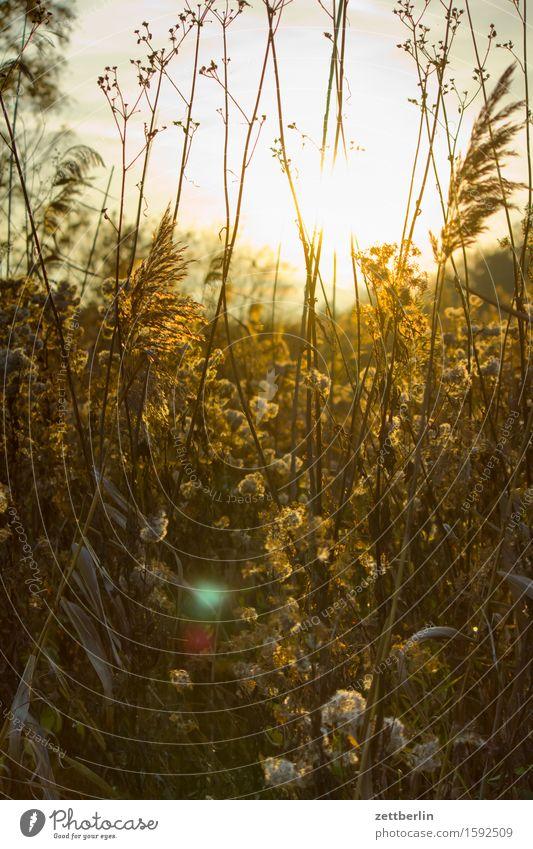 Gegenlicht Abend Nebel Dunst Dämmerung Herbst Lein Natur Umweltschutz Naturschutzgebiet Nationalpark ruhig Sonnenuntergang blenden Sträucher Pflanze Doldenblüte