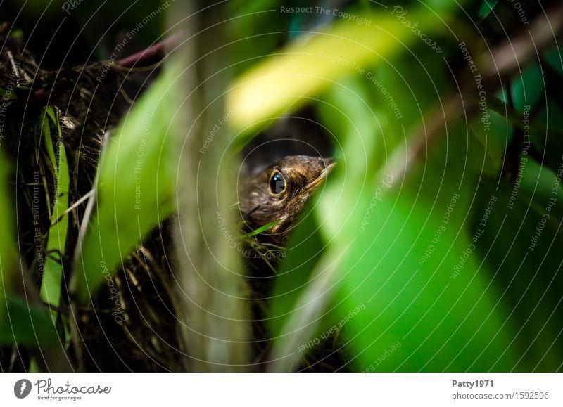 Amsel beim Brüten Tier Vogel 1 sitzen braun grün geduldig ruhig Fürsorge Schutz brütend Brutpflege Nest Versteck Fortpflanzung Farbfoto Außenaufnahme