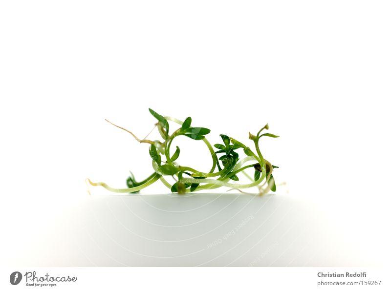 Gartenkresse Kresse Gartenfest Gartenkunst frisch Beet Kräuter & Gewürze Pflanze Leben Erde Keim Trieb Wurzel Wurzelgemüse Lebewesen Ernährung