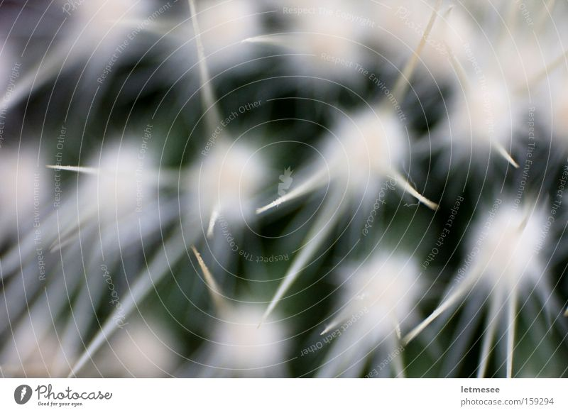 weißes Stachelschwein weiß grün Stern (Symbol) retro Wüste Spitze Kaktus Stachel stachelig