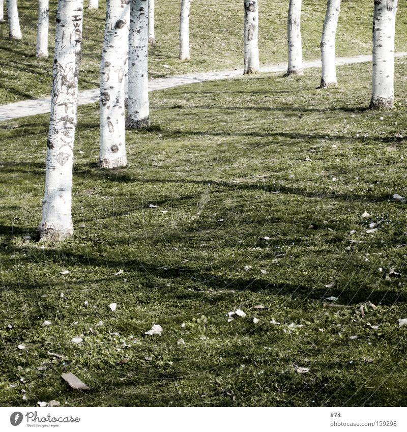 Birken schön weiß Baum grün Wiese Wege & Pfade Rasen