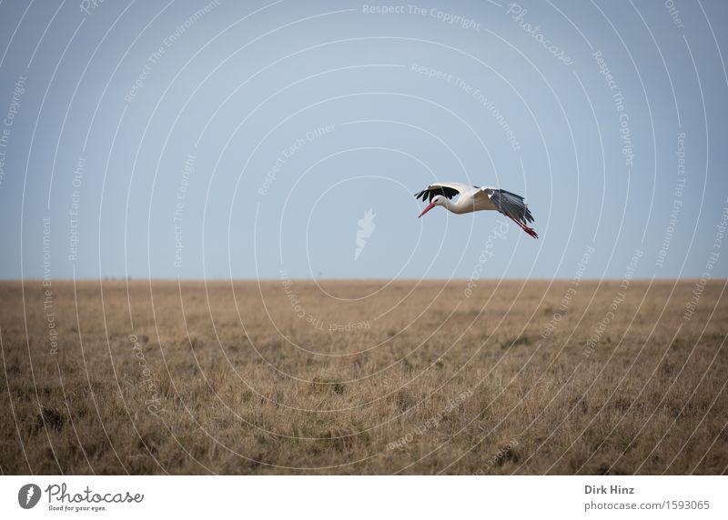 Storchen-Flug Umwelt Natur Landschaft Pflanze Tier Wiese Moor Sumpf fliegen frei Freiheit Weißstorch Nordfriesland St. Peter-Ording Schnabel Flugzeuglandung