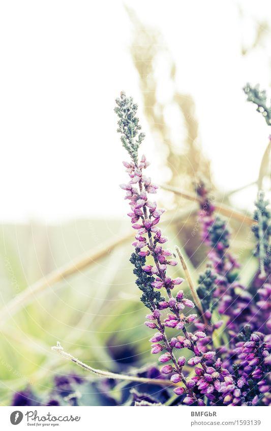 Lila Winterzierde Natur Pflanze Blume Gras Sträucher schön natürlich retro violett ästhetisch Calluna Vulgaris Besenheide Heidekrautgewächse Bergheide