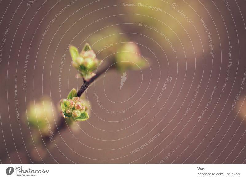 Frühlingserwachen Natur Pflanze Sträucher Blatt Blüte Blattknospe Zweig Garten Wachstum klein braun grün violett Farbfoto Gedeckte Farben Außenaufnahme