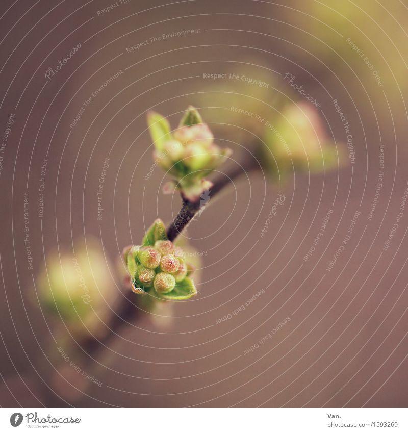 Frühaufsteher Natur Pflanze Frühling Sträucher Blatt Blüte Blütenknospen Garten klein braun grün Zweig Farbfoto Gedeckte Farben Detailaufnahme Makroaufnahme
