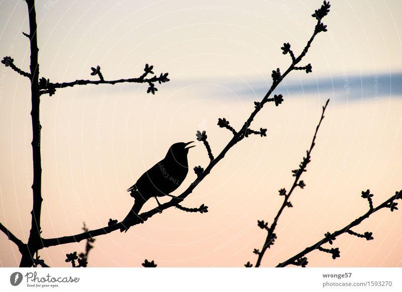 Amselpeter Umwelt Pflanze Tier Himmel Frühling Sommer Baum Obstbaum Kirschbaum Garten Park Wildtier Vogel 1 Kommunizieren natürlich blau rosa schwarz