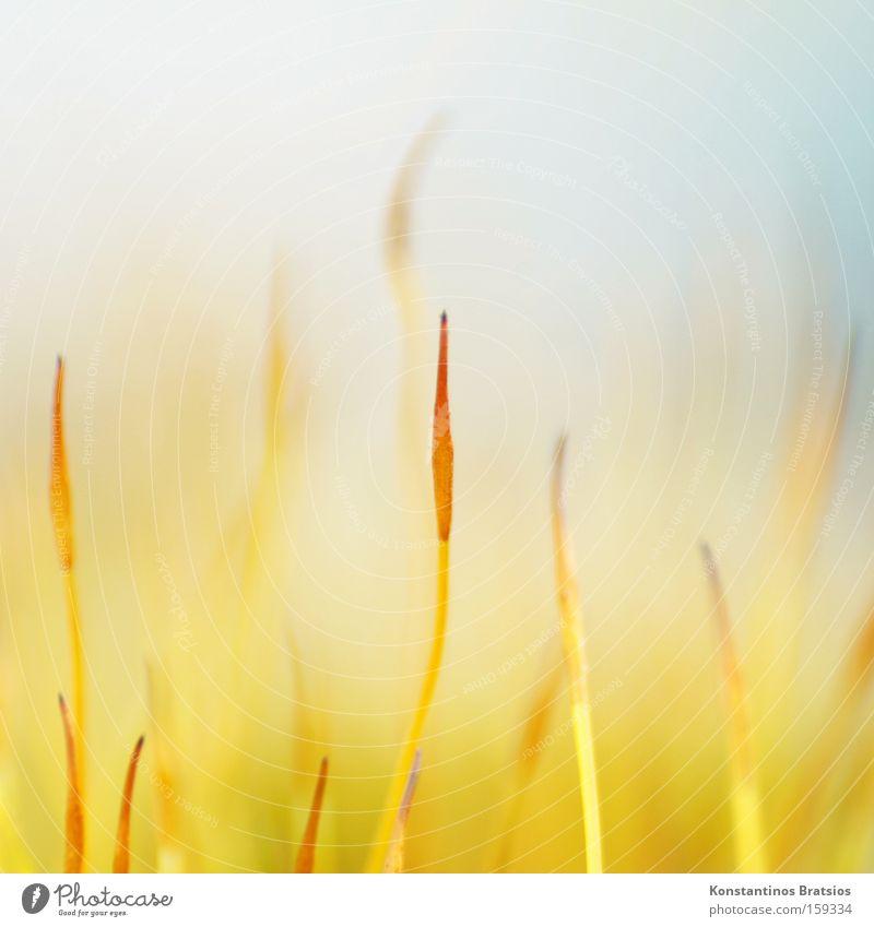 Calyptra Farbfoto Außenaufnahme Nahaufnahme Makroaufnahme Menschenleer Unschärfe Natur Pflanze Frühling Moos ästhetisch dünn elegant fantastisch klein schön