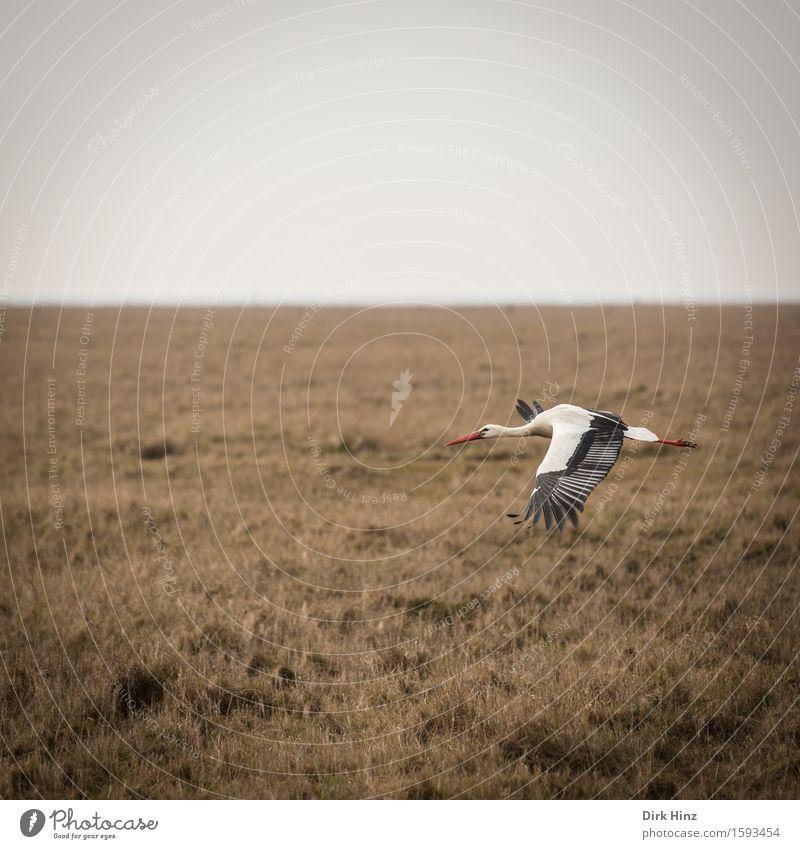 Storchenflug II Ferien & Urlaub & Reisen Ausflug Ferne Umwelt Natur Tier Himmel Wiese Feld Küste Nordsee Wildtier Vogel Flügel 1 natürlich Adebar Schnabel