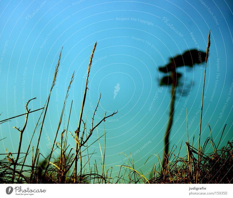 Weststrand Küste Baum Kiefer Gras Windflüchter Darß Himmel Natur Ostsee Farbe Strand