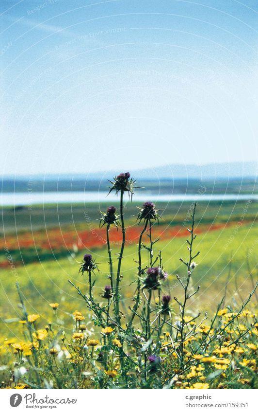 distel Blumenwiese Sommer stechblume Natur Pflanze Wiesenblume Frühling