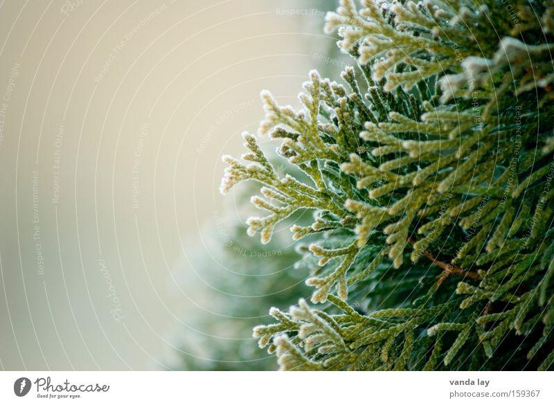 Lebensbaum Natur Baum grün Pflanze Winter kalt Frühling Eis Hintergrundbild Hecke