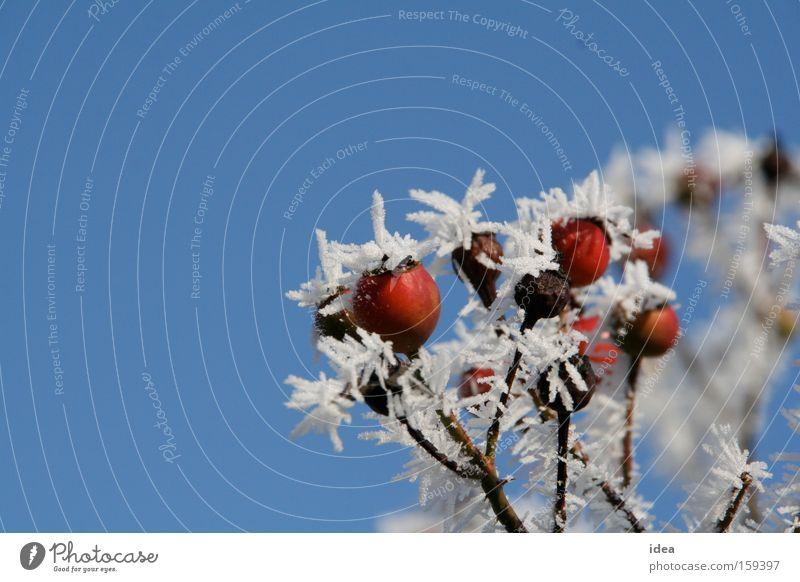 Hagebutten Raureif Schnee Himmel Hintergrundbild Herbst Winter rot blau weiß Stachel stachelig Natur Park Hundsrose
