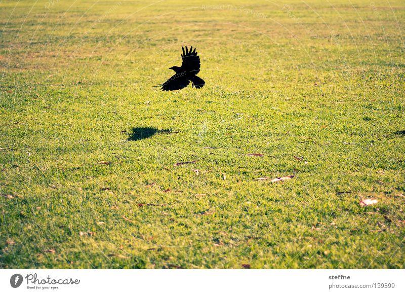 Wiese, Rabe, nix weiter Natur Tier Vogel fliegen Beginn Luftverkehr Flugzeuglandung Abheben Rabenvögel