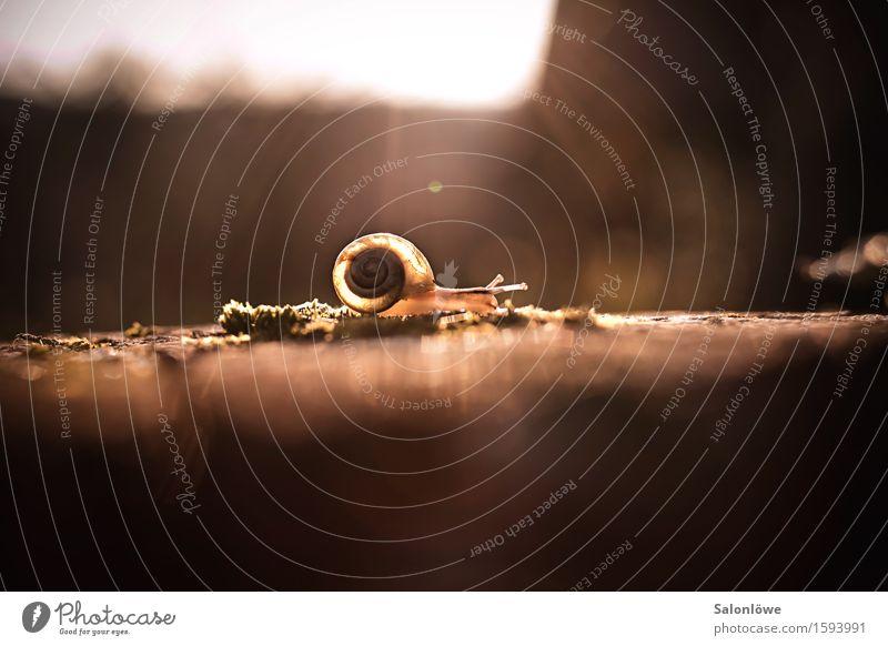 Plädoyer für die Langsamkeit Natur Tier Schnecke 1 rennen wandern glänzend schleimig braun gold Gelassenheit geduldig ruhig Ausdauer Stress Trägheit