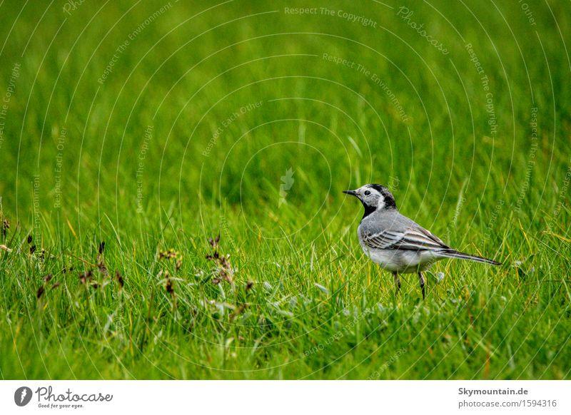 Bachstelze oder doch besser Grasstelze? Natur Pflanze grün Sommer Landschaft Tier schwarz Umwelt Frühling Wiese Küste grau Garten braun Vogel Park