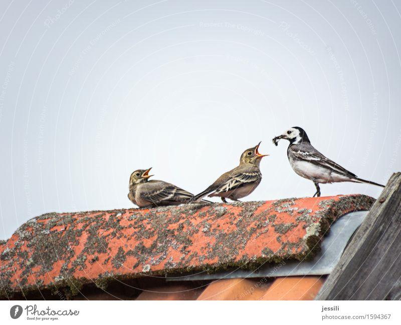 Fütterung II Vogel 3 Tier Tierfamilie wählen füttern Wachstum frech Vorfreude Sympathie Verantwortung Wachsamkeit gewissenhaft Vorsicht Gelassenheit Interesse