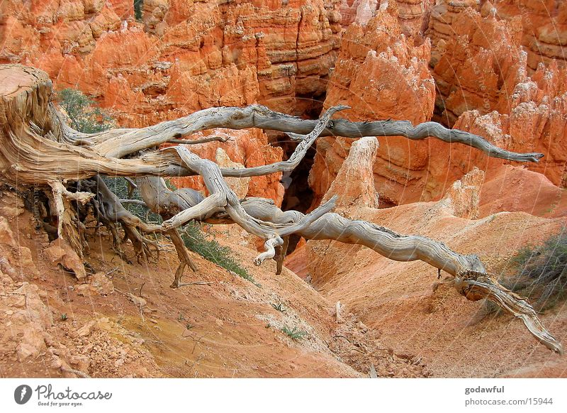 Schlangenbaum Baum USA Wüste Nationalpark Sandstein Bryce Canyon
