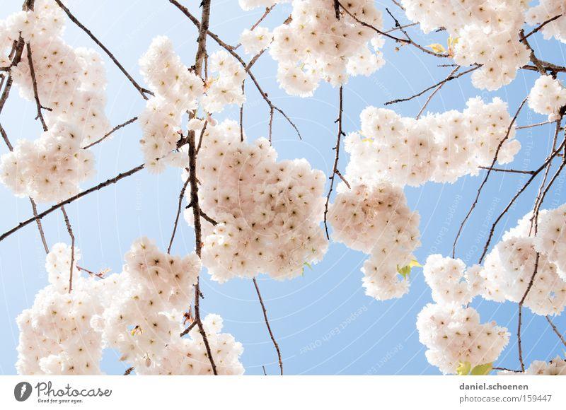 rosahellblauweiss weiß Wärme Frühling Blüte Park Wetter Ast Kirsche Frucht Kirschblüten Kirschbaum Zierkirsche